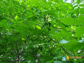 Ceviz Ağacı Resimleri